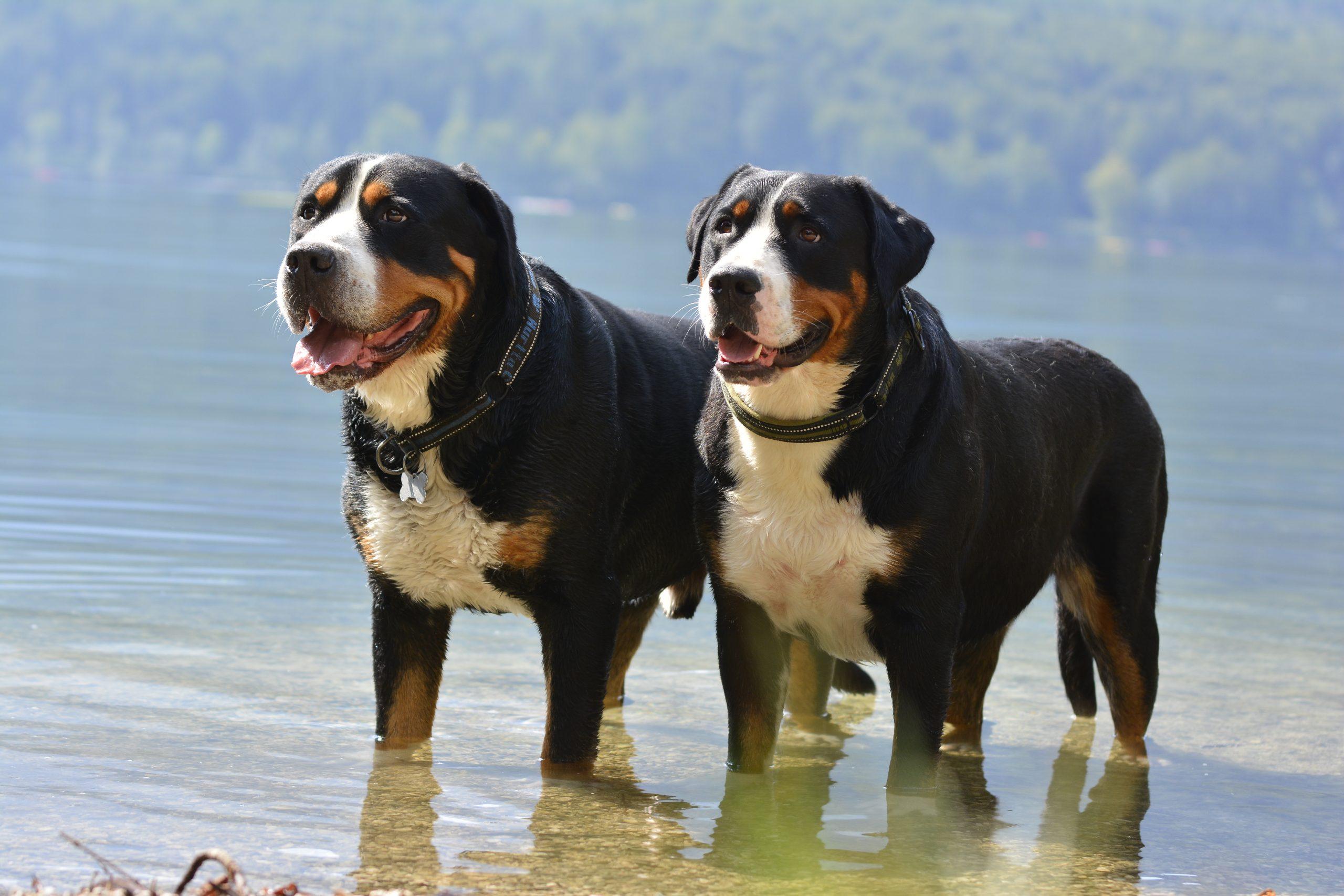 Veliki-plansarski-pes